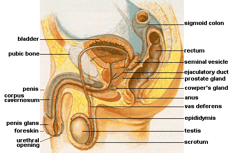 The anatomy of prostate massage
